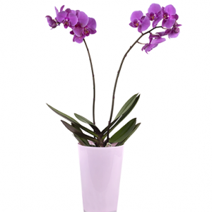 Violet Orchid - Flowers & Gifts Delivery Amman Jordan