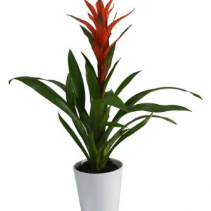 Red Guzmania Plant - Flowers & Gifts Delivery Amman Jordan