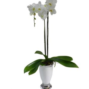 White Orchid Plant - Flowers & Gifts Delivery Amman Jordan